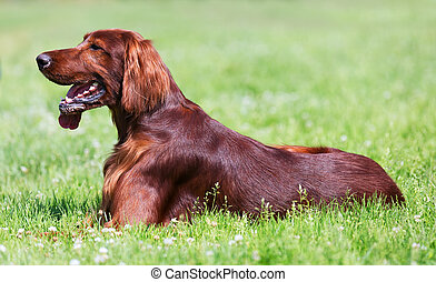 Setter sitting on grass