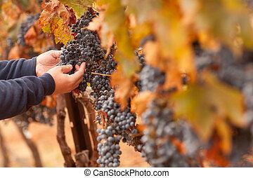 seu, inspeccionando, maduro, uvas, agricultor, vinho