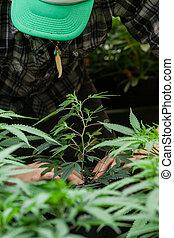 seu, marijuana, colheita, agricultor