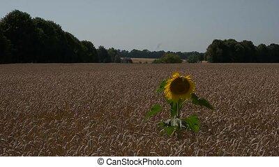 seul, champ, blé, tournesol