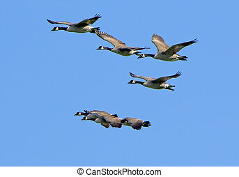 Seven Canada geese flying together against a blue sky