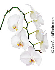 Seven day old white orchid isolated on white background....