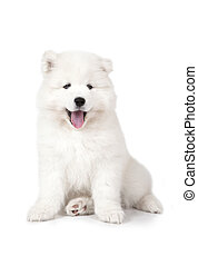 Seven months old Samoyed puppy dog isolated on white ...