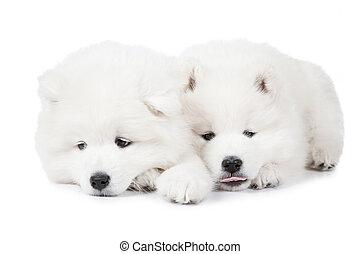 Seven months old Samoyed puppy dog over white