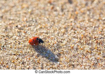 Seven-spot ladybird (Coccinella septempunctata) on the sand