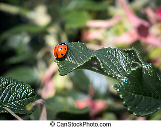 Seven Spot Ladybird (coccinella septempunctata)