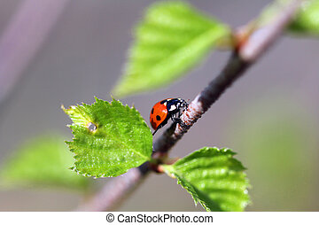 Seven Spotted Ladybug Climbing Upwards - A close up of the...