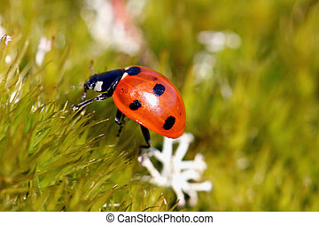 Seven Spotted Ladybug (Coccinella septempunctata) on green...