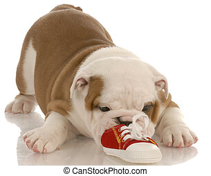 seven week english bulldog puppy chewing on a small shoe