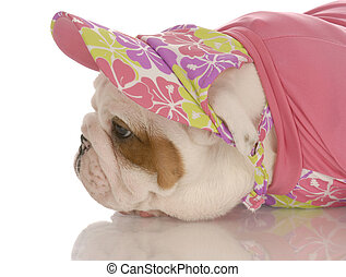 seven week old english bulldog puppy dressed up in pink hat and sweater