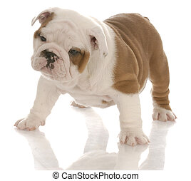 seven week old red and white english bulldog puppy standing with reflection on white background
