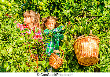 Seven year old girl picking clementines from her garden -...