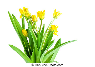 Seven Yellow spring flowers with green leaves Isolated Located cascade on White