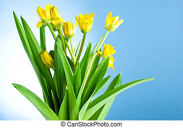 Seven Yellow spring flowers with green leaves on a blue background