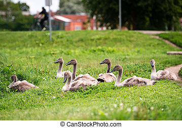 Seven young swans in the town sitting in grass