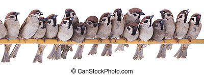 seventeen sparrows  isolated on a white background