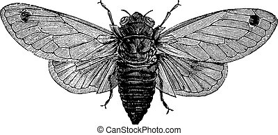 Seventeen-Year Cicada or Magicicada cassini or Magicicada...