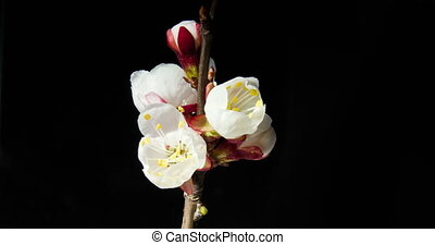 Several apricot flowers blossom on a branch on a dark background