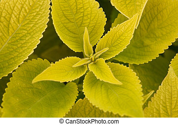 several bright green leaf coleus close-ups of backlighting, macro