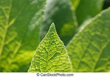 several bright green leaf foxglove close-ups of backlighting, macro