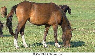 Several brown horses graze grass on a green lawn in slo-mo
