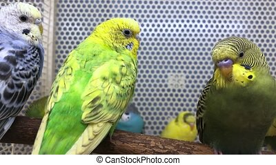 Several budgies are sitting on a perch in a pet store - ...