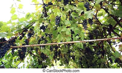 Several bunches of ripe grapes on the vine outdoor. HD....