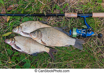 Several common bream fish, crucian fish on the natural background. Catching freshwater fish and fishing rod with fishing reel on green grass