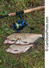 Several common bream fish on the natural background. Catching freshwater fish and fishing rod with fishing reel on green grass.