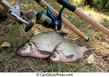 Several common bream fish on the natural background. Catching freshwater fish and fishing rods with reels on green grass.