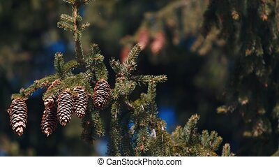 Several cones on spruce - Some cones on a branch of a large...