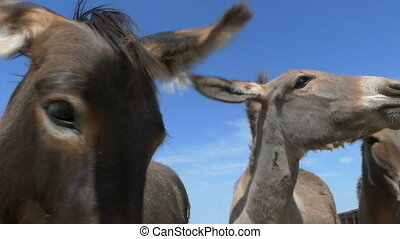 Several donkeys eat bread from hands outdoors in slo-mo - An...