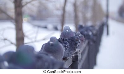 Several doves sits on a fence in city park, telephoto shot
