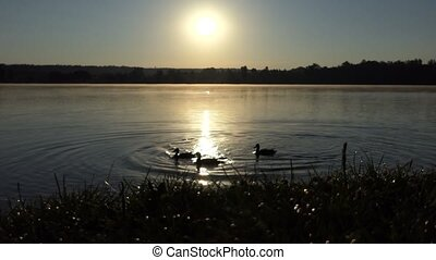 Several ducks swimming on a lake at sunset in 4k - An...