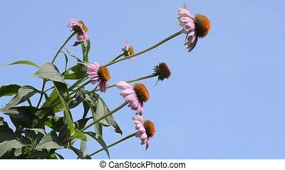 Several echinacea flowers