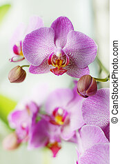 Several flowers and buds of a pink orchid on a white background