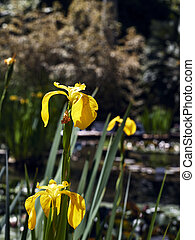 Several flowers of yellow Acoro, Iris pseudacorus. Out-of-focus background of a walkway with water, sunny day, front view.
