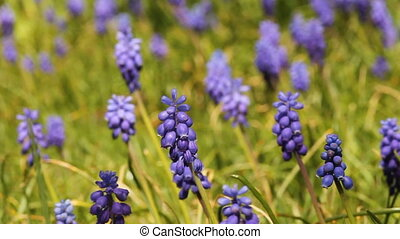 grape hyacinth - several grape hyacinths in spring