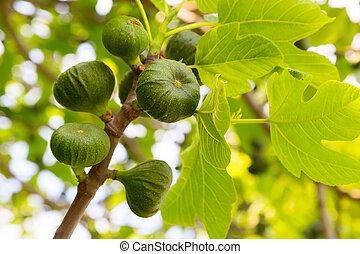 Several green figs on the tree