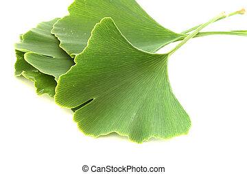 Several green fresh ginkgo biloba leaves on white background