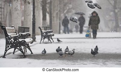 Several grey doves landing and seeking food on snowy alley...
