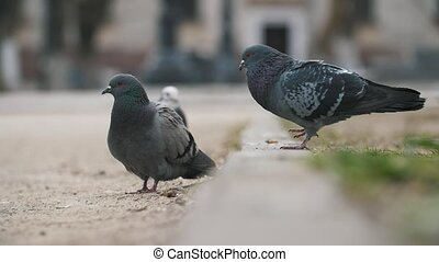 Several grey doves walking in a square and flying off...