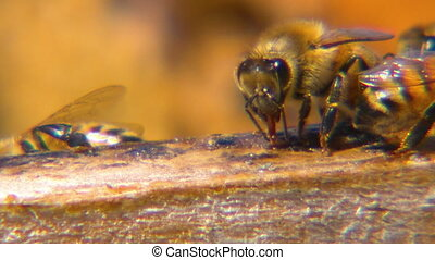 Several honeybees collecting sap - Extreme close up of...