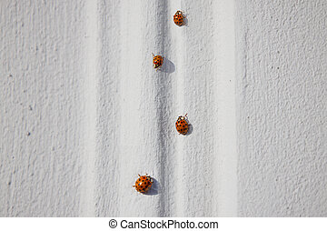 Several ladybugs on the wall of a house on a sunny day