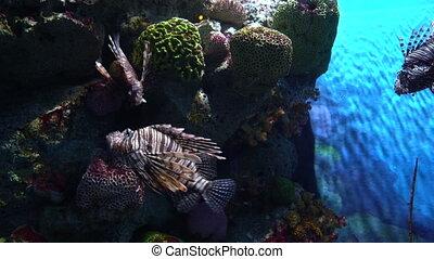 Several lionfish, Pterois volitans at coral reef background in aquarium