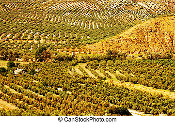 olive grove - several olive groves in malaga, andalucia,...