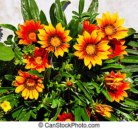 Gazania blooming flowers