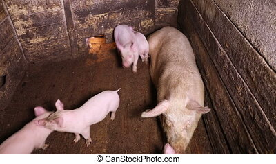 Several piglets run around a pig pen - A large sow lies in a...