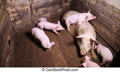 Several piglets run around a pig pen - A large sow lying in...