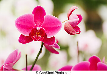 Several Pink orchid flowers in the garden.